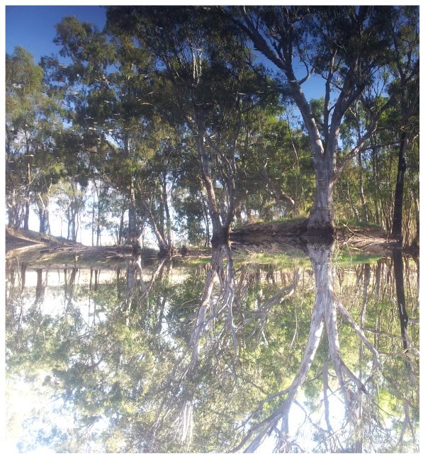 Some Australian trees with a reflection in water.